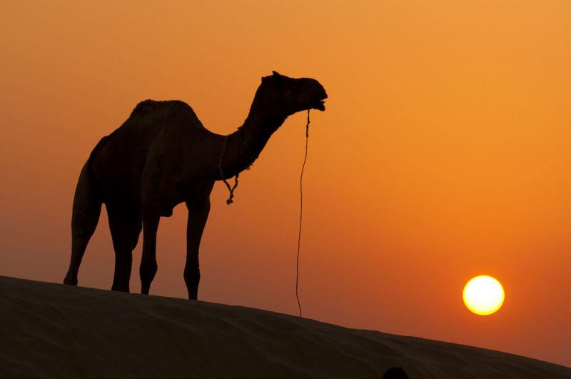 Desert Animal Animal Themes Arid Climate Beauty In Nature Camel Climate Desert Domestic Livestock Nature No People Orange Color Outdoors Pets Silhouette Sky Standing Sun Sunset Sunsets Thar Desert Vertebrate
