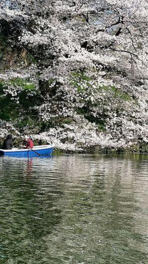 Boating Chidorigafuchi Spring 2015 樱花 Sakura Cherry Blossoms Tokyo Japan Travel Photography
