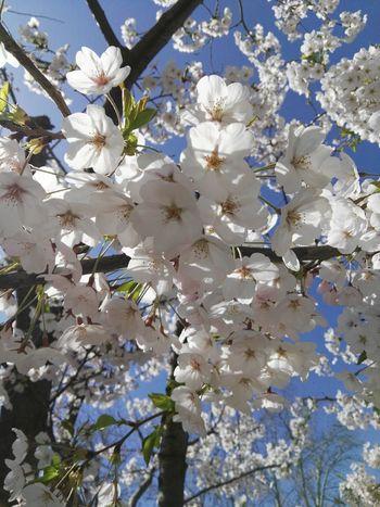 玉兰 Spring
