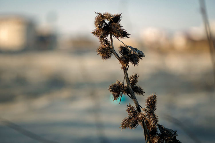 Close-up of wilted plant by sea against sky