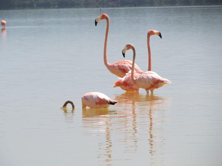 Animal Themes Animals In The Wild Bird Celestun Flamingo Lake Mexico Nature At Its Best Reserva De La Biosfera Tranquility Travel The World Water Water Bird Waterfront Wildlife