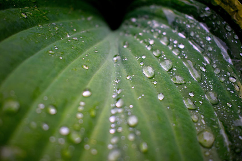 Backgrounds Beauty In Nature Close-up Day Drop Fragility Freshness Full Frame Green Color Growth Hosta Hosta Leaves Hosta Plant Leaf Nature No People Outdoors RainDrop Selective Focus Water Water Drops On Leaves Water Drops On Plant Wet