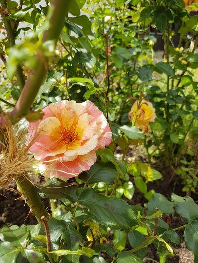 EyeEmNewHere EyeEm Nature Lover Flowerpower Shotongalaxys7edge Flower Head Flower Leaf Petal Close-up Blooming Plant