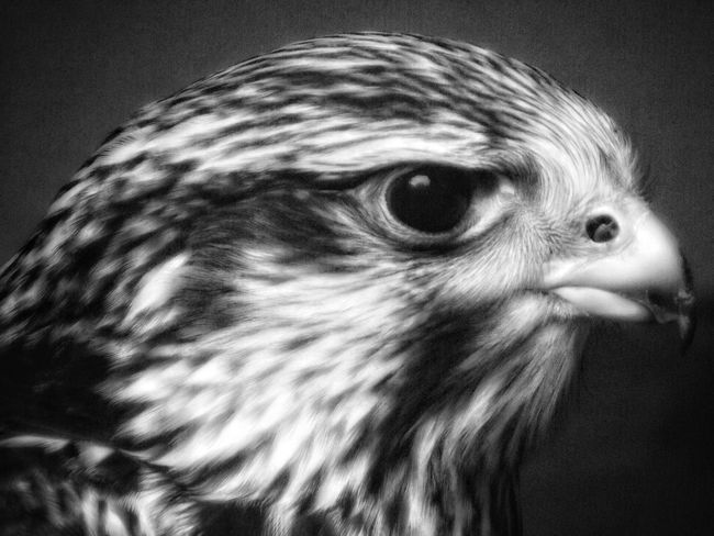 A Hawk taken with manual settings Close-up Animal Head  Animal Body Part Wildlife Photography Eyeemphoto Eyeem Photography Bird Wildlife Bird Of Prey Animal Head  Fujifilm Malephotographerofthemonth Close Up Photography Hdr_captures No People Nature And Wildlife By Tony Bayliss EyeEm Best Shots - HDR Birds Of Prey Close Up Nature Malephotographerofthemonth Nature_collection Black & White Photography Black And White Photography Black & White Portrait Bnw_captures Hawk