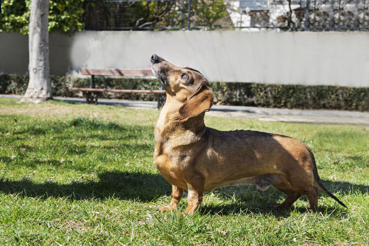 Beautiful brown dachshund at the park in a sunny day. One Animal Mammal Domestic Animals Pets Domestic Vertebrate No People Outdoors Background Wallpaper Copy Space Outside Sunny Day Green Brown Dauchshund Canine Pet Park Nature Portrait Pedigree Breed Furniture Face Dog Animal