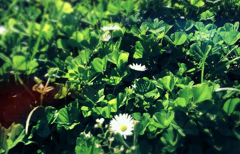 Daisy,flower, First Eyeem Photo