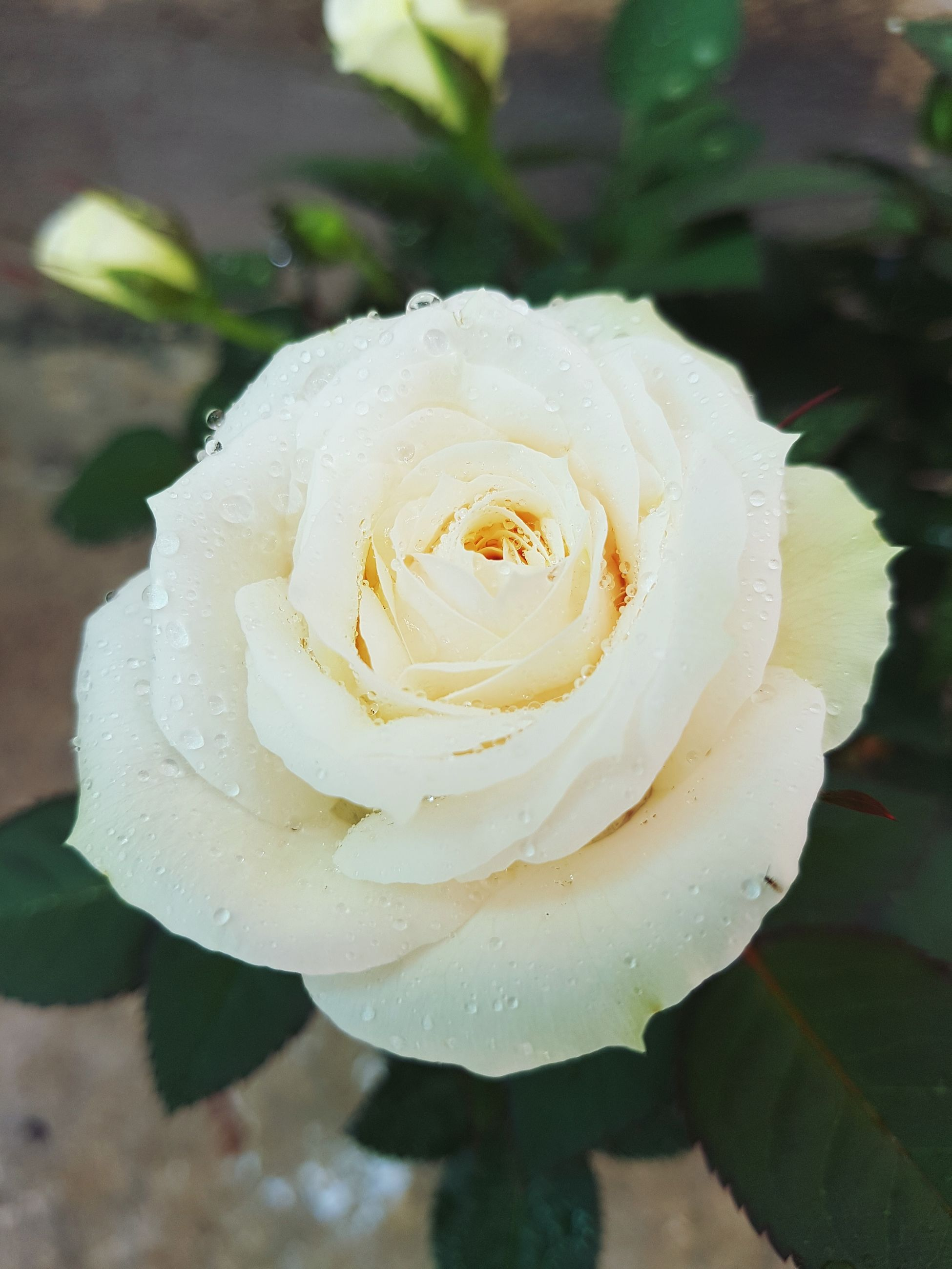 flower, rose - flower, petal, nature, beauty in nature, white color, flower head, plant, freshness, fragility, growth, close-up, drop, no people, wet, water, outdoors, day, blooming