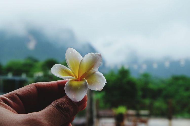 Cropped hand holding frangipani