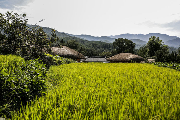 Beauty In Nature Folk Village Growing Growth Mountain Relaxing Moments Rice Rice Field Rural Landscape Rural Scenes Thatched House Tranquil Scene Tranquility
