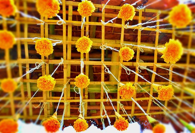 Bamboo Rack Bamboo Roof Beauty In Nature Chrysanthemums Flower Flower Head Focus On Foreground Hanging Chrysanthemums Plant Strings Strings Attached Suspended In Air Vibrant Color Yellow Showcase April