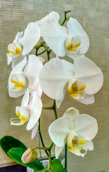 White Orchid in