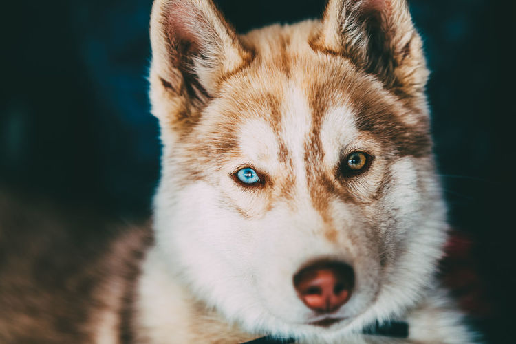 Close Up Head Young Happy Husky Puppy Eskimo Dog With Eyes Animal Pets Portrait Eye Dog Canine Animal Head  Animal Eye Husky Puppy Eskimo Multicolored Brown Purebred Breed Pedigree Friend Doggy Siberian Blue Green Nose