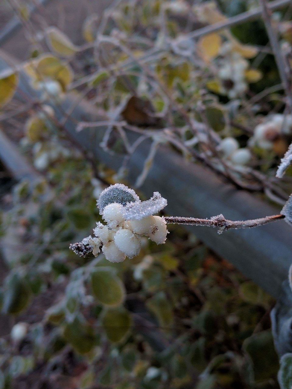 white color, nature, growth, beauty in nature, day, plant, cold temperature, close-up, outdoors, flower, no people, winter, fragility, snow, freshness