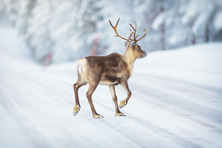 Full length of deer walking on snow covered road