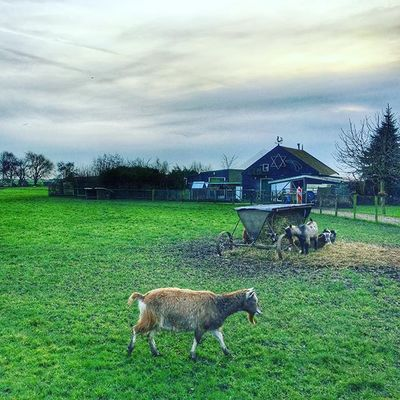 Country Green Sheep Istanday Istatime Instagram Instalife Instalike Holland Picoftheday Lyfetime Lifestyle Tag Followme