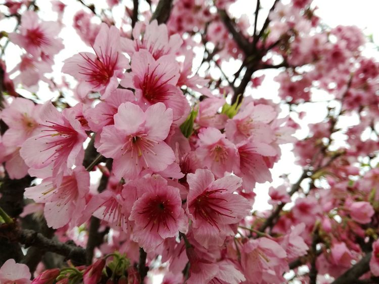 Flower Pink Color Blossom Fragility Growth Beauty In Nature Nature Springtime Tree Rhododendron No People Freshness Petal Creative Artistic Tourism Scenics Landscape Tree Branch Outdoors Flower Head Day Close-up Sky