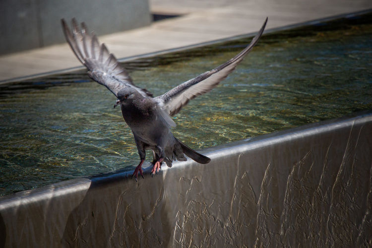 Close-up of bird flying by fountain