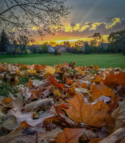 Field Grass Low Angle View Sunset Collection Sunset_collection Autumn Beauty In Nature Change Close-up Day Grass Ground Level View Leaf Maple Nature No People Orange Color Outdoors Sky Suburbs Sun Beams Sunset Tranquility Tree Urban
