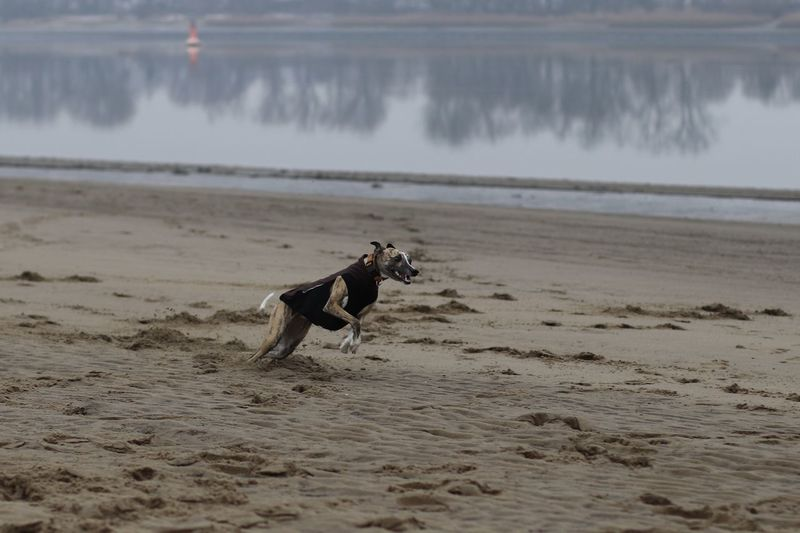 Bad Weather Bad Weather Good Mood Beach Blödes Wetter Dog Dog In Action Dog In Clothes Dogs Fun Hund Hund Am Strand Hund Im Mantel Hund In Aktion Hunde Hundekleidung Misty Outdoors Pets Running Dog Sand Water Whippet Whippet Am Strand Whippet At Beach Whippets
