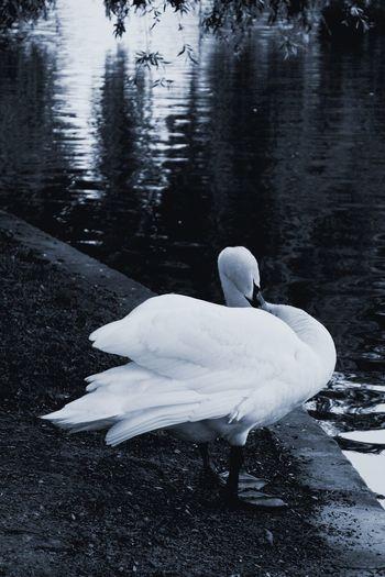 White swan on lakeshore