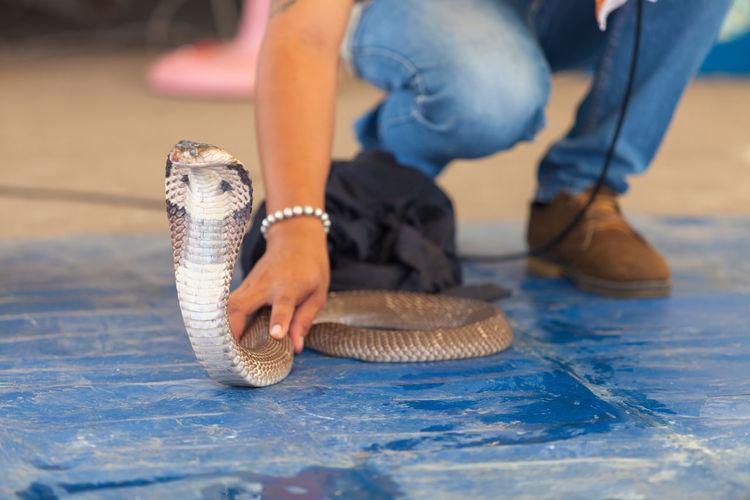 Cobra show