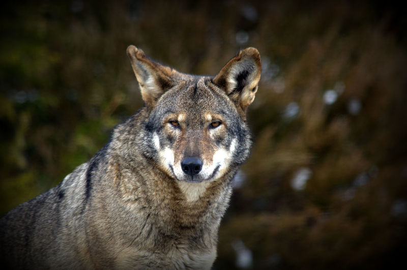 Animal Themes Animals In The Wild Close-up Fine Art Fine Art Photography Looking At Camera Mammal Nature One Animal Portrait Wolf