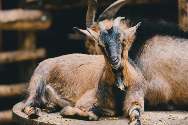 Goat Animal Animal Family Animal Themes Animal Wildlife Animals In The Wild Brown Day Domestic Animals Focus On Foreground Group Of Animals Herbivorous Looking Mammal Nature No People Outdoors Relaxation Sunlight Vertebrate Young Animal