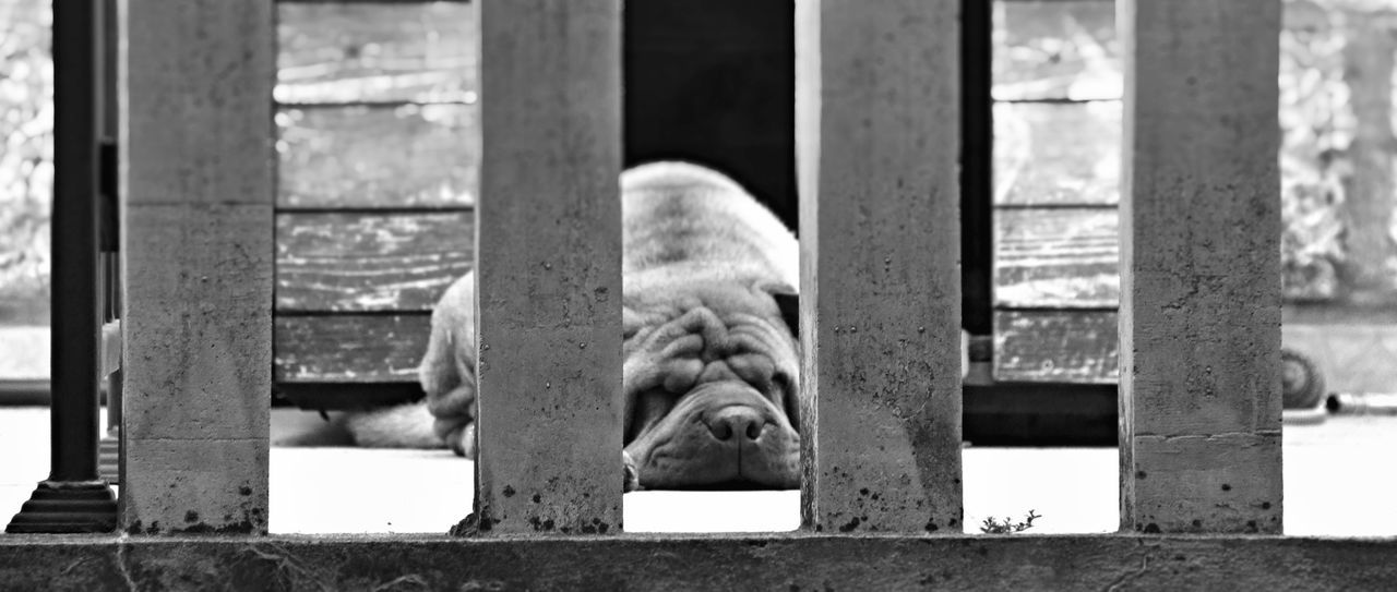 Albania Architectural Column Black Black & White Black And White Day Detail Of  Dogs Focus On Foreground No People Sleeping Pet Portraits