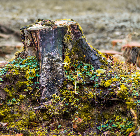 Dead wood Still Life Dead Solid Bark Tree Stump Selective Focus Rock Rock - Object Land Outdoors Wood - Material Plant Moss Focus On Foreground Nature No People Rough Timber Lichen Day Close-up Tree Textured
