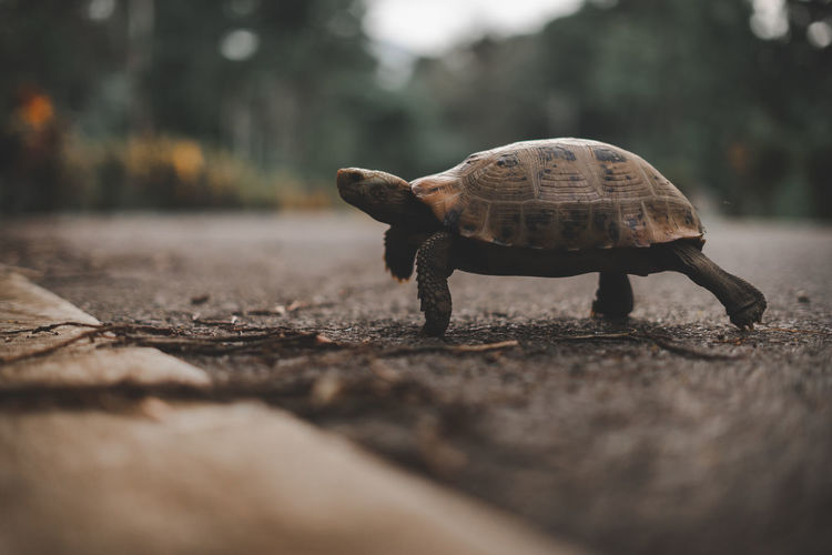 Close-up of tortoise walking on road