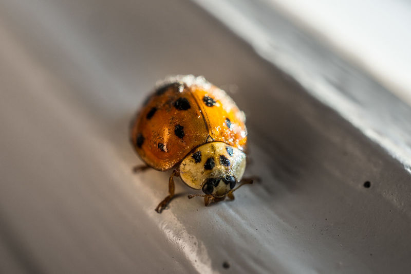 Invertebrate Animal Themes Insect Animal Wildlife Animal One Animal Animals In The Wild Beetle Ladybug Close-up No People Spotted Yellow Selective Focus Outdoors Day Small Nature Wood - Material Beauty In Nature Macro