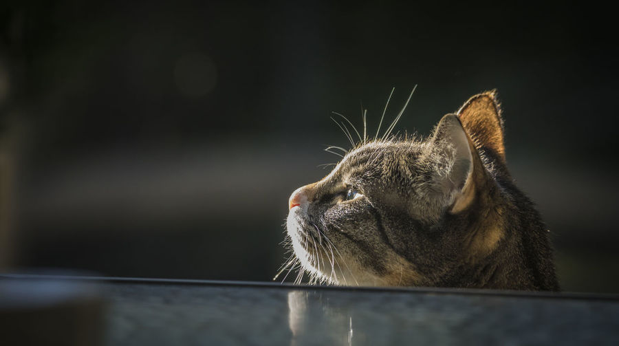 Content cat Domestic Cat Mammal One Animal Animal Animal Themes Domestic Cat Domestic Animals Pets Close-up Vertebrate Feline Animal Body Part No People Whisker Animal Head  Looking Focus On Foreground Relaxation Eyes Closed  Animal Eye Relaxed