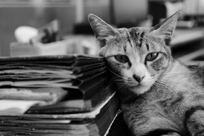 Pets Domestic Animals Domestic Cat Mammal One Animal Feline Indoors  No People
