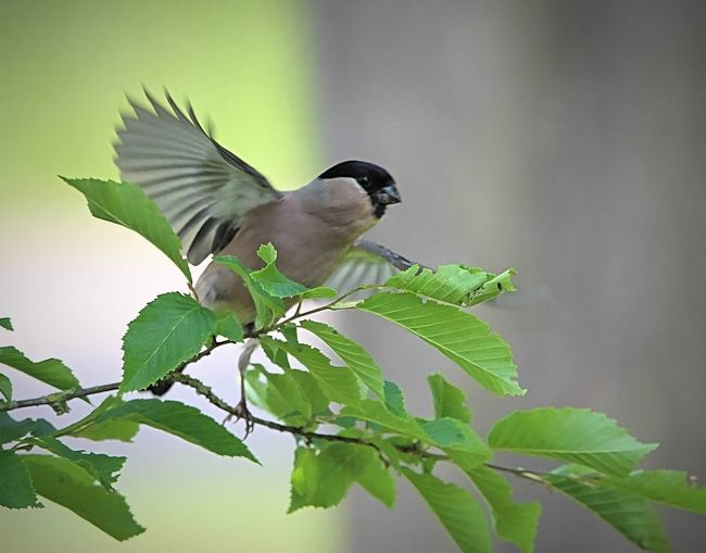 Animals In The Wild Beauty In Nature Bird Birds Eurasian Bullfinch Leaf Nature One Animal