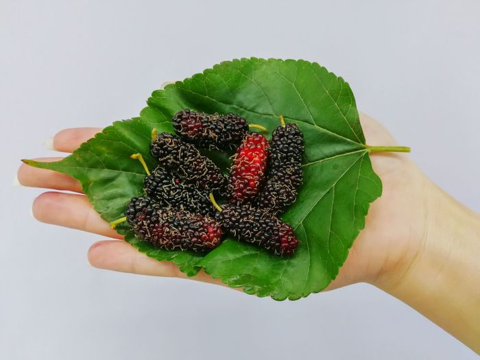 Mulberry Summer Macro Eat Fruit Nature Eating Floral Colorful Vegetarian Fresh Sour Fresh Food Background Ripe Mulberry Food And Drink Cooking Cook  Food Human Hand Flower White Background Leaf Green Color Blackberry - Fruit Berry Fruit Berry Rowanberry Blueberry Strawberry