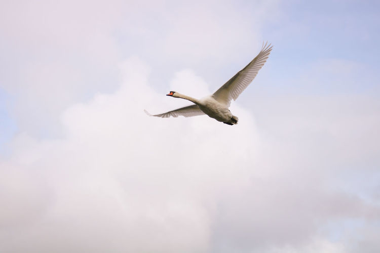 Low angle view of mute swan flying