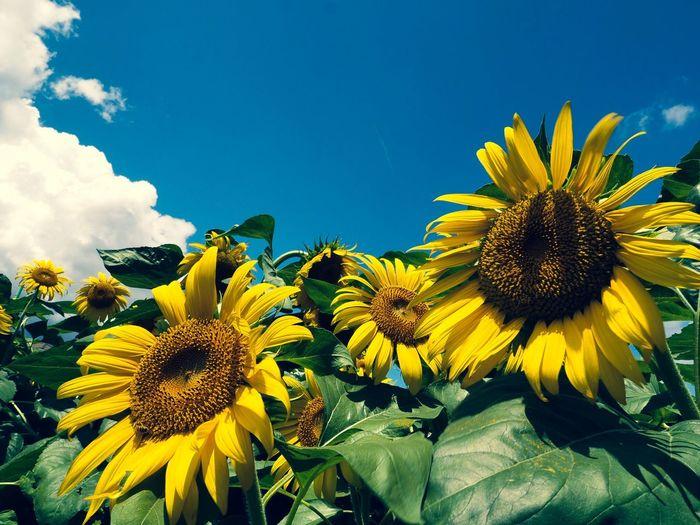 おはようございます🌞 Olympus OM-D E-M5 Mk.II Cross Process Tokyo Street Photography Summertime Flower Yellow Flowering Plant Growth Plant Flower Head Vulnerability  Low Angle View Sunflower Fragility Sky