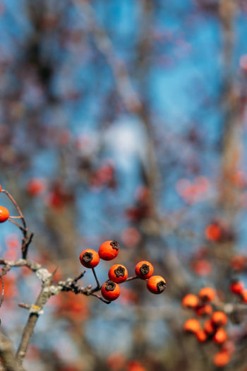 Vertical fall autumn nature background with berries and leaves. autumn background