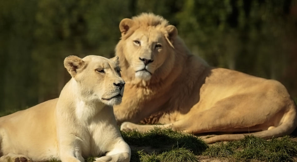 Portrait of lion and lioness
