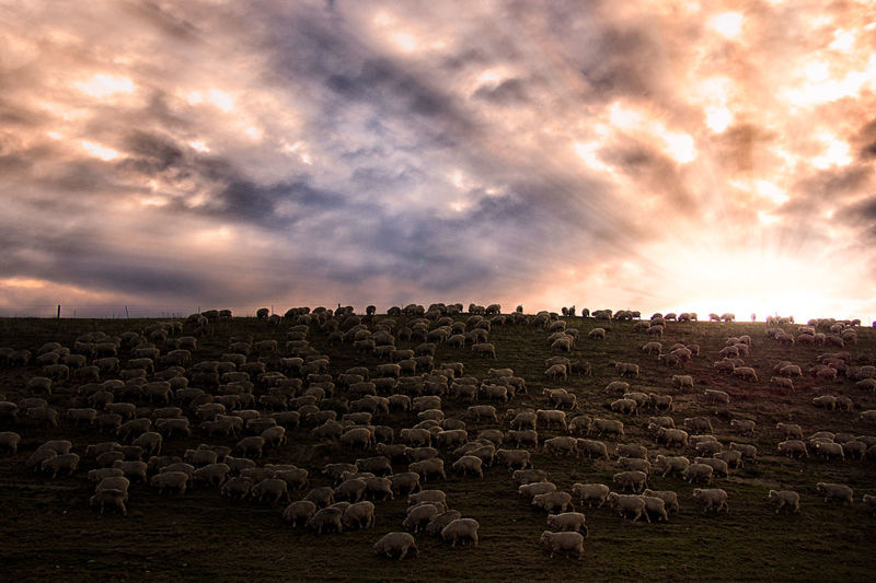 Arid Climate Atmospheric Mood Geology Majestic New Zealand Outdoors Physical Geography Sheep Sunset Sunsne Trael Travel The Great Outdoors - 2016 EyeEm Awards