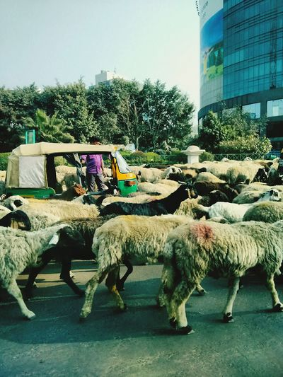 Livestock Animal Sheep Domestic Animals urban scene Outdoors Antique As Well As Modern Flock Of Sheep Sheeps In The City Shopping Mall Beauty In Nature Wintertime
