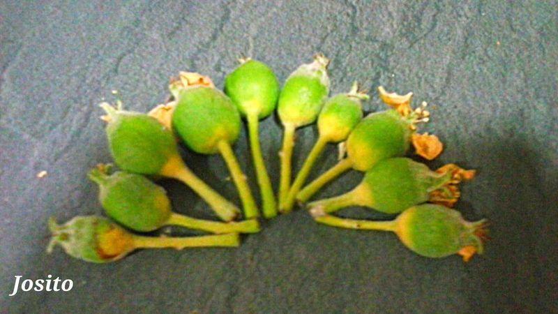 Rip. My apples have fallen because of the winds. Mis manzanas que han caido a causa de los vientos :-( Taking Photos Apple Tree Somosfelices Manzanas