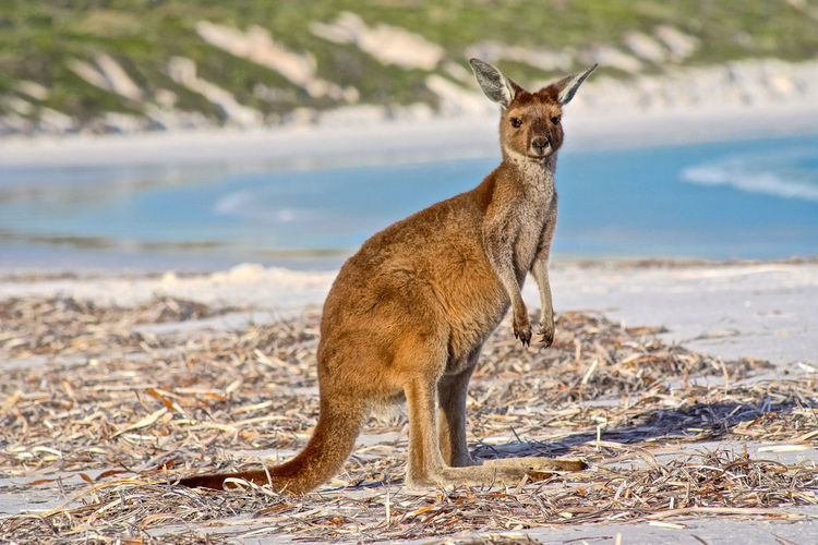 Kangaroo at beach
