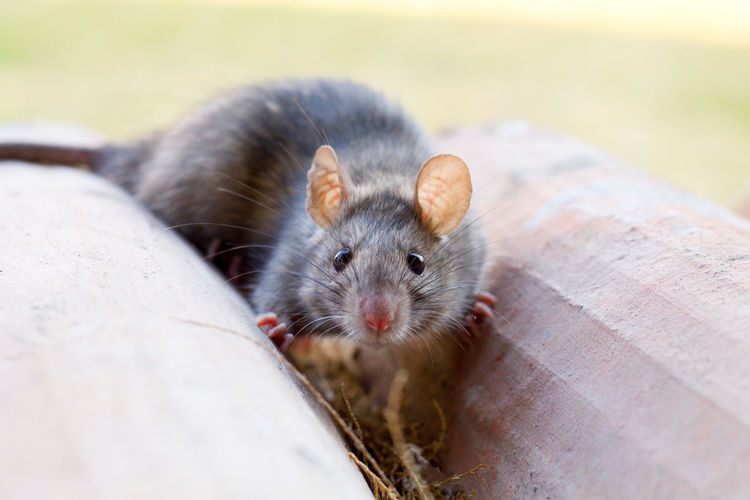 small grey mouse of field Animal Themes Animal Wildlife Animals In The Wild Close-up Countryside Cute Day Field Looking At Camera Mammal Mouse Nature No People One Animal Outdoors Portrait Small Pet Portraits