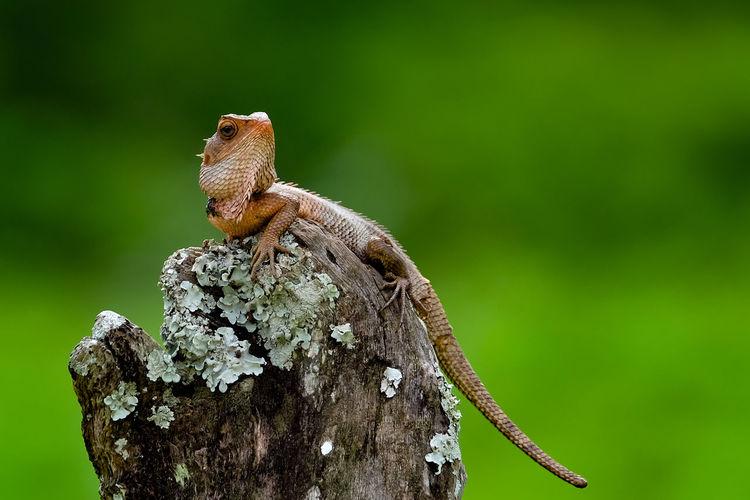 Chameleon Wildlife Nature Forest India Macro