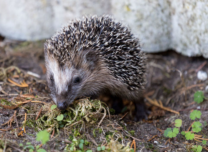 Animal Animal Themes Animals In The Wild EyeEm 2015 EyeEm Animal Lover EyeEm Nature Lover Hedgehog Igel Im Garten In The Garden Wildlife