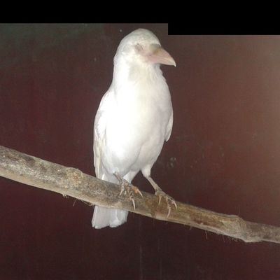 Photography Very Rare white Crow found in the mountains of india.