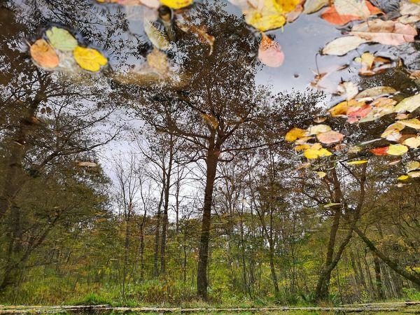 สะท้อน Huawei P20 Pro Reflection Reflections In The Water Autumn colors Autumn Leaves Puddle Reflections Puddle Of Water Forest Tree Nature Woods Wood WoodLand Upside Down Horizon Over Water Mobile Photography Nature Water