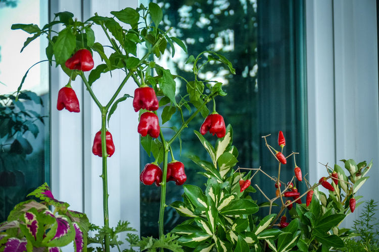 Plant Red Growth Leaf Freshness Plant Part Nature Food And Drink Food No People Flower Green Color Beauty In Nature Day Healthy Eating Flowering Plant Fruit Outdoors Tree Window Ripe