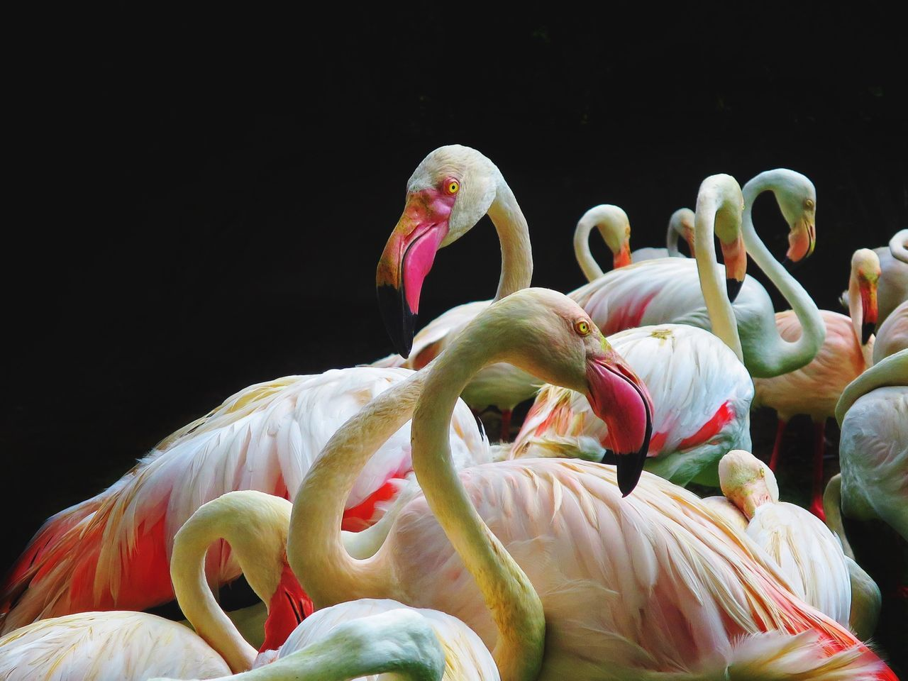 Flamingos against black background
